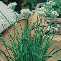 Garlic Chive Seeds
