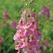Verbascum Antique Rose Seeds