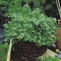 Coriander Cilantro for Leaf (Organic) Seeds