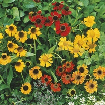 Helenium Red Gold Seeds