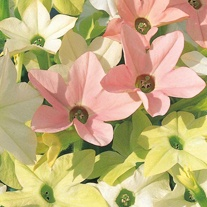 Nicotiana Merlin Magic F1 Seeds