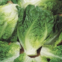 Lettuce Little Gem Maureen Seeds