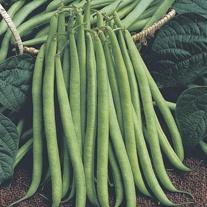 Dwarf Bean Delinel Seeds