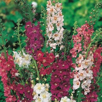 Verbascum Mixed Seeds