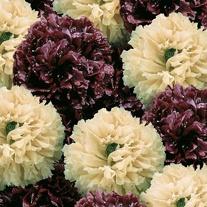 Poppy Irish Velvet Seeds