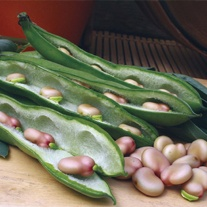 Broad Bean Karmazyn Seeds