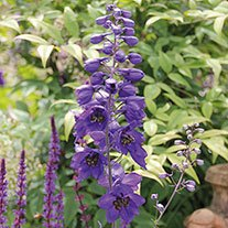 Delphinium Magic Fountains Midnight Seeds