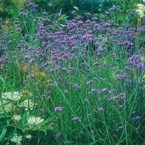 RSPB Verbena bonariensis Seeds