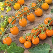 Tomato (Cherry) Sungold F1 Seeds