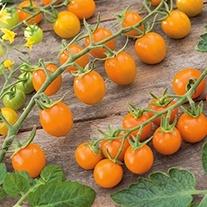 Tomato (Cherry) Sungold F1 Seeds