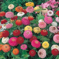 Zinnia Sunbow Mixed Seeds