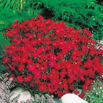 Dianthus Vampire Seeds