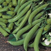 Pea Delikett Seeds