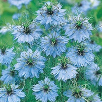 Nigella Miss Jekyll Seeds