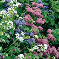 Ageratum Timeless Mix Seeds