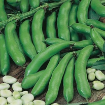 Broad Bean Witkiem (Organic) Seeds