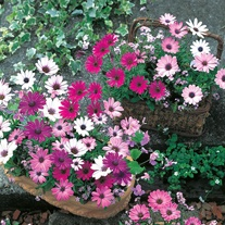 Osteospermum Daisy Mae Mixed Seeds