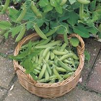 Pea Sugar Ann Seeds