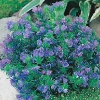 Echium Blue Bedder Seeds