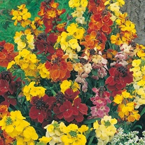 Wallflower Choice Mixed Seeds