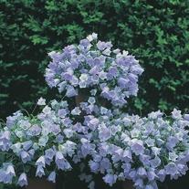 Campanula Blue Baby Seeds