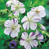 Geranium pratense Splish Splash Seeds