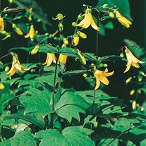 Kirengeshoma Seeds
