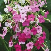Nicotiana Whisper Mixed F1 Seeds