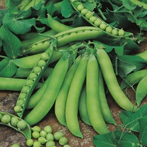 Pea Jaguar Seeds