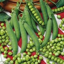 Pea Linnet Seeds