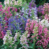 Penstemon Humming Bells Mixed Seeds