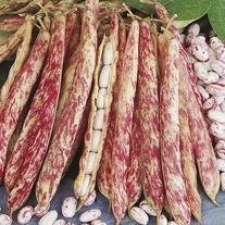 Dwarf Bean Borlotto di Vigevano nano Seeds