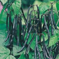 Dwarf Bean Purple Teepee Seeds