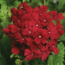 Verbena Obsession Bordeaux Seeds