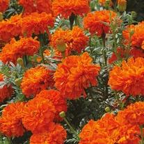 Marigold (African) Kees' Orange Seeds