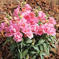 Antirrhinum Seeds - Twinny Rose F1