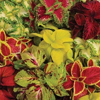 Coleus Wizard Mixed Seeds
