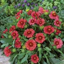 Gaillardia Arizona Red Shades Seeds