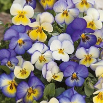 Pansy Cool Summer Breeze