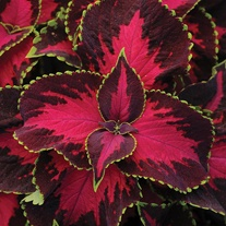 Coleus Chocolate Covered Cherry Seeds