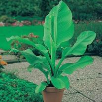 Banana Musa Seeds