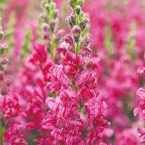 Antirrhinum Seeds - Purple Twist F1