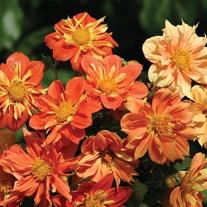 Dahlia Sunny Reggae Seeds