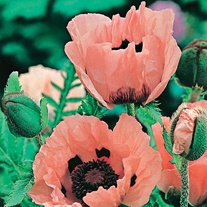 Poppy Princess Victoria Louise Seeds