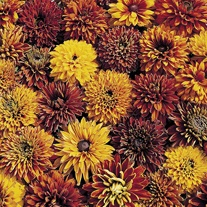 Rudbeckia Cherokee Sunset Seeds