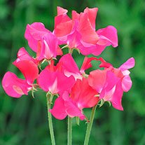 Sweet Pea Jimelda Seeds