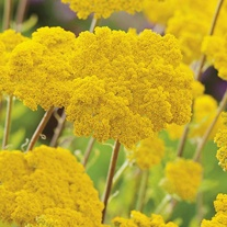 Achillea filipendulina Cloth of Gold Seeds