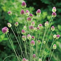 Allium sphaerocephalon Seeds