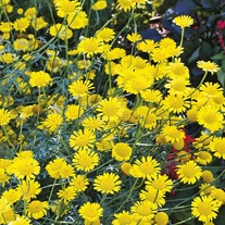 Anthemis tinctoria Kelwayi Yellow Seeds