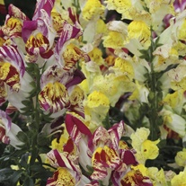 Antirrhinum Seeds - Picasso Splash F2